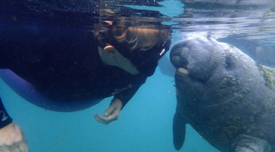 One place in the World to Legally Swim with Manatees – Amazing Encounters in Crystal River Florida
