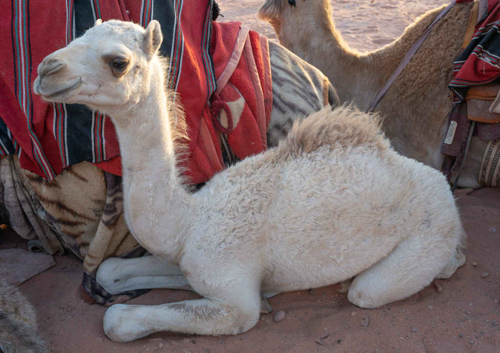 Camel calf accompanies his Mother with the caravan, Wadi Rum Jordan, image by Marie Goff