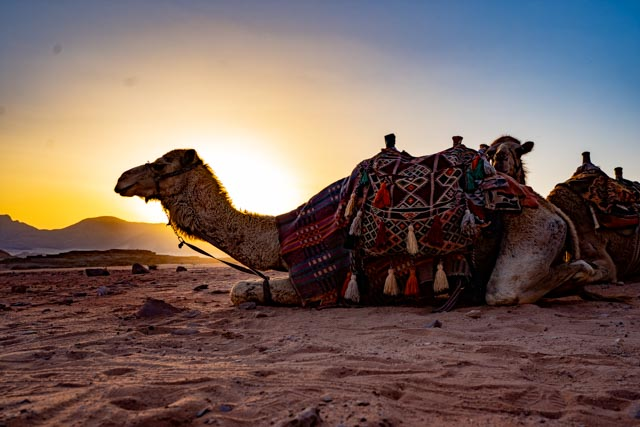 Camel in the Wadi Rum, Jordan, image by Marie Goff