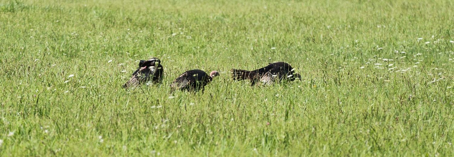 Turkey in the meadows at Oconaluftee Visitor's Center Great Smoky Mountains National Park
