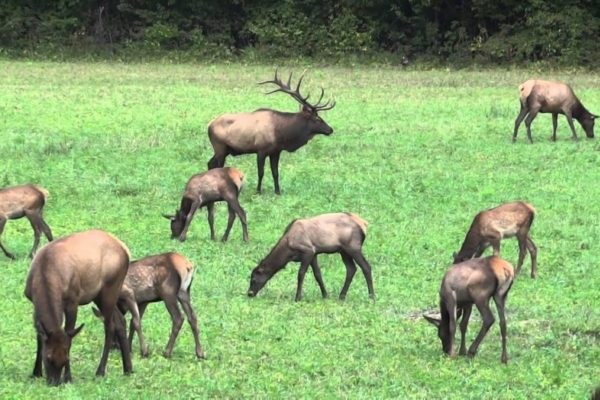 Elk grazing in the Cataloochee Valley in the Great Smoky Mountains