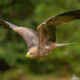 Tack Sharp Photos of Birds-in-Flight, the easy way
